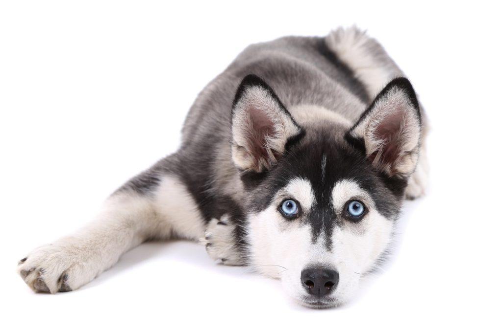 Si POPGOM était un chien, ce serait un husky